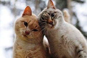 Mačky bez blch