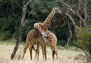 Ktoré zvieratá žijú v Afrike