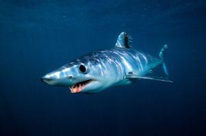 Shark mako - najrýchlejší žralok na svete