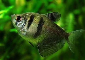 Akváriové ryby trní. Údržba a starostlivosť