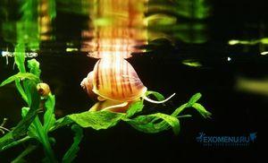 Akvárium slimák ampulyarya - popis mäkkýšov