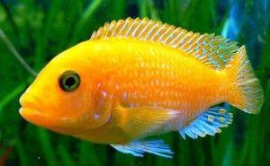 Cichlidy akvarijných rýb