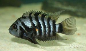 Druhy cichlíd akvarijných rýb