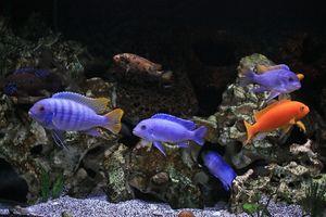 Kŕmenie akvarijných cichlíd
