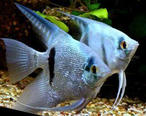 Akváriové rybie šupky