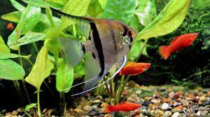 Údržba rýb skalára a starostlivosť o ne