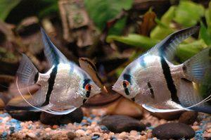 Obsah rýb skalárnych