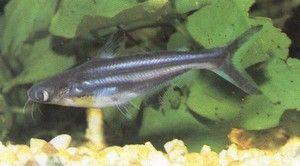 Pangasius ryby