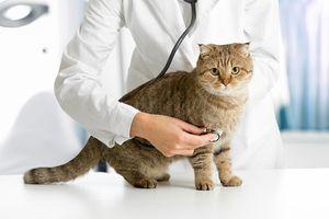 Veterinárska mačka