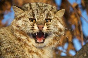 Lesná mačka Amur - charakteristická
