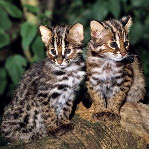 Roztomilé mačacie mačiatka Tsushima