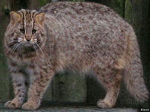 Amur lesná mačka - farba zvieraťa