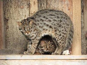 Tsushima mačka a mačiatko
