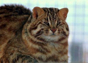 Dospelý plný Amur lesné mačky