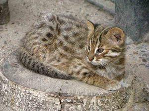 Amur lesná mačka doma