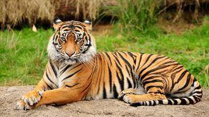 Amur tiger - obrovská mačka zo stránok červenej knihy