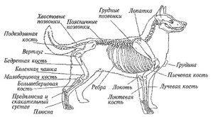 Anatómia psa: vonkajšia a vnútorná štruktúra tela
