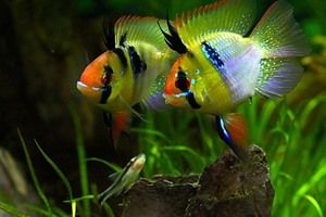 Akvarijné ryby Apistogram