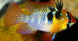 Farebné ryby Apistogram ramirezi