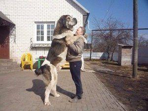Arménsky vlkodavý gamprus je plemeno veľkých a silných psov