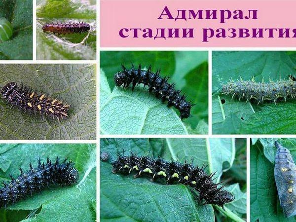 Vlastnosti motýľa admirála
