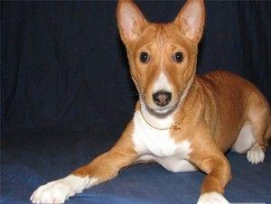 Basenji je plemeno psov, ktoré nelámia