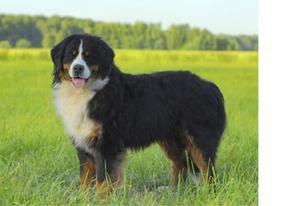 Bernský salašnícky pes - popis plemena, vlastnosti psa