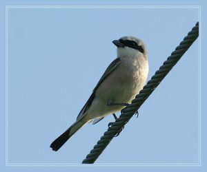 Popis vtáka Shrike