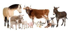 Choroby hovädzieho dobytka