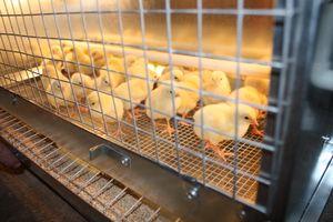 Biomycín pre kurčatá