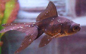 Choroby akvarijných rýb: odrody a liečba