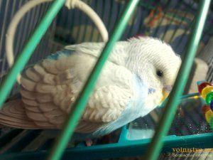 Choroby zvlnené papagáje a ich ošetrenie