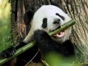 Veľký panda alebo bambusový medveď