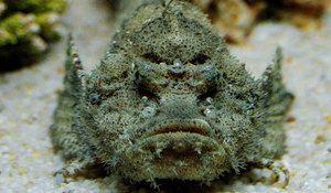 Wartow, tento rybí kameň, ktorý obýva vody v oceánoch