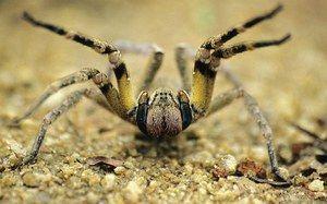 Brazílsky putujúci pavúk - vzhľad