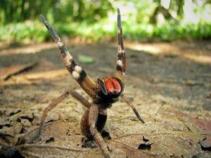 Agresívny brazílsky pavúk - smrteľne jedovatý