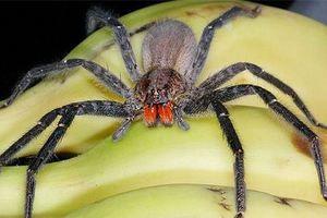 Putujúci brazílsky pavúk - ako rozoznať
