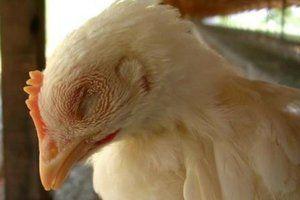Brojleri si kýchajú a píšťali - ako na ošetrenie kurčiat a dospelých kurčiat