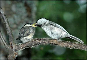 Očné rohovky: jedlo, rozmnožovanie bacuľaté, vzhľad vtáka