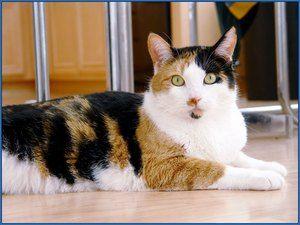 Existujú tribarevné mačky?