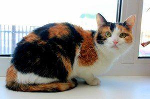 Trojfarebná mačka v byte