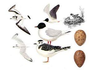 Rieka čajok - dospelé vtáky a vajcia