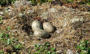 Čajka - hniezdo a tri vajcia