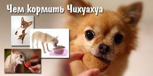 Čo chovať Chihuahua doma