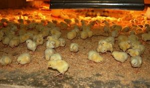 Čo dodávajú kurčatá?