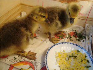 Nuansy kŕmenia goslings a starostlivosť o ne