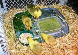 Odporúčané krmivo pre goslings dva až sedem dní