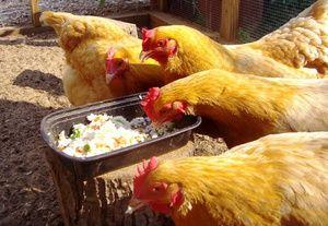 Čo má kŕmiť sliepku sliepky, aby sa zabránilo beriberi?