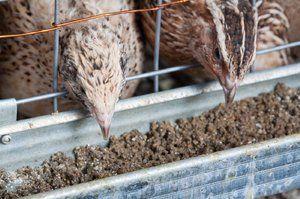 Čo kŕmiť prepelice doma: diéta