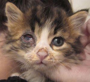 Ak chcete liečiť, ak mačiatko oči suppurate
